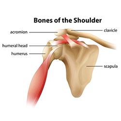 Diagram of the bones in the shoulder.