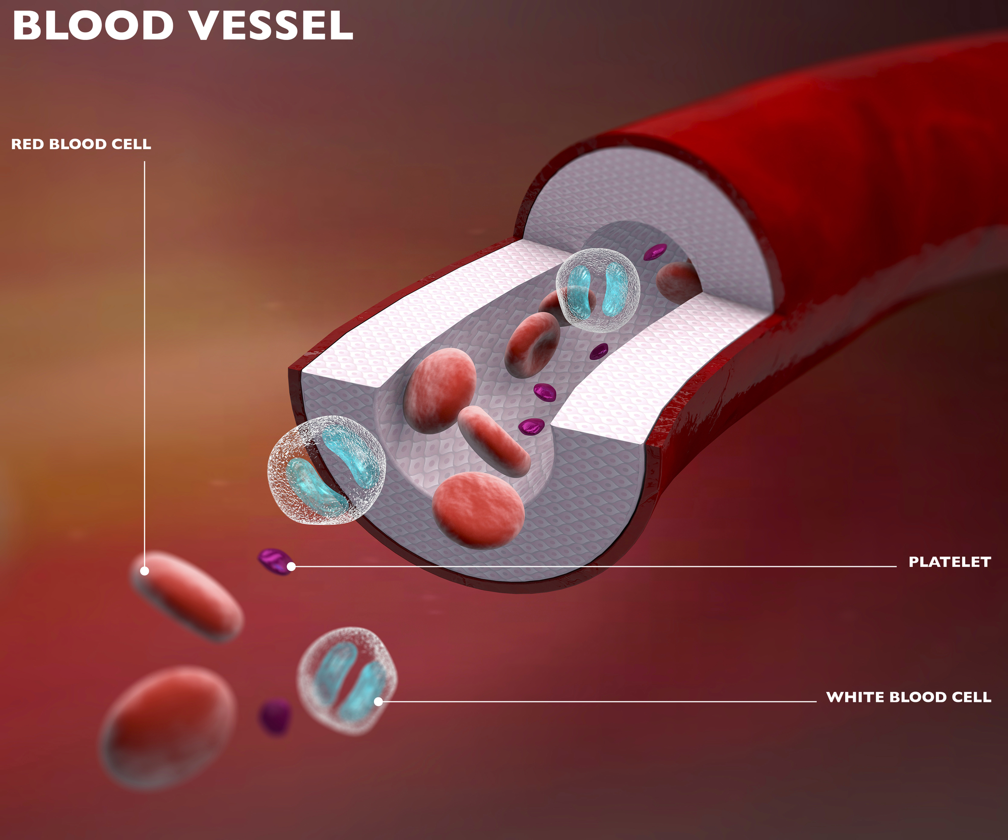 Diagram of a blood vessel.