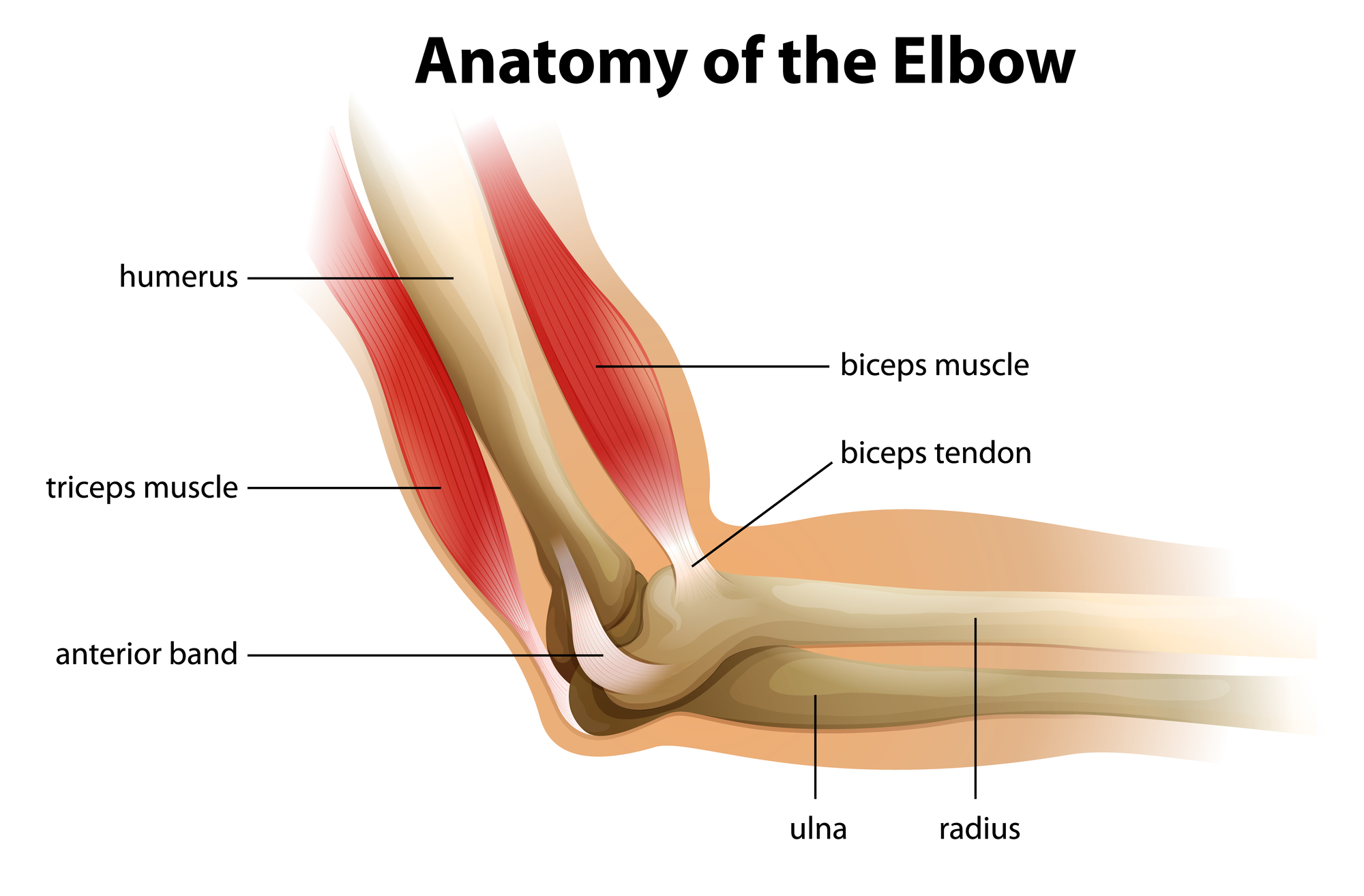 Illustration showing the anatomy of the human elbow.