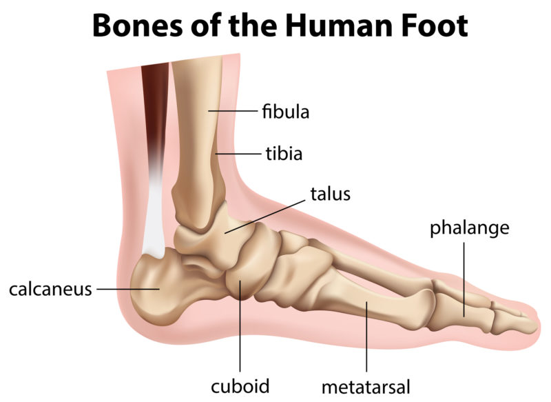 Side view of the bones of the human foot .