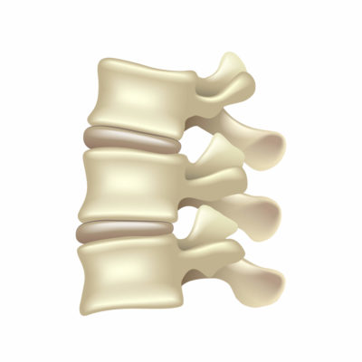 Vertebrae with intervertebral disks and facet joints.
